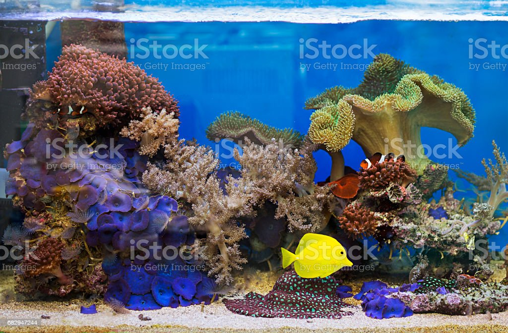 View at beautiful zebrasoma salt water aquarium fish royalty-free stock photo