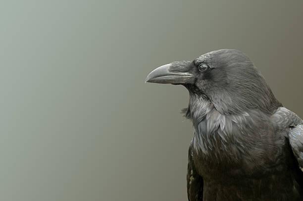 View crow. stock photo
