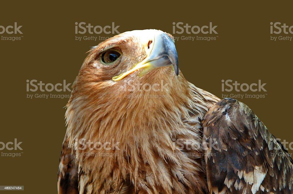 Exibir eagle. - foto de acervo