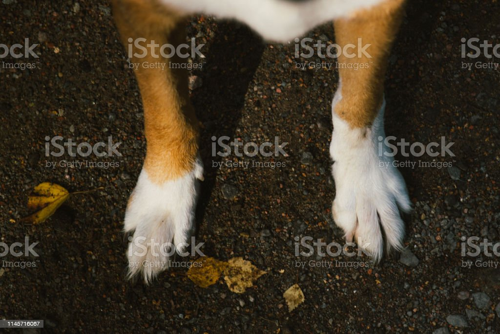 Close-up view at paws of a mongrel dog. Nice friendly dog pet on...