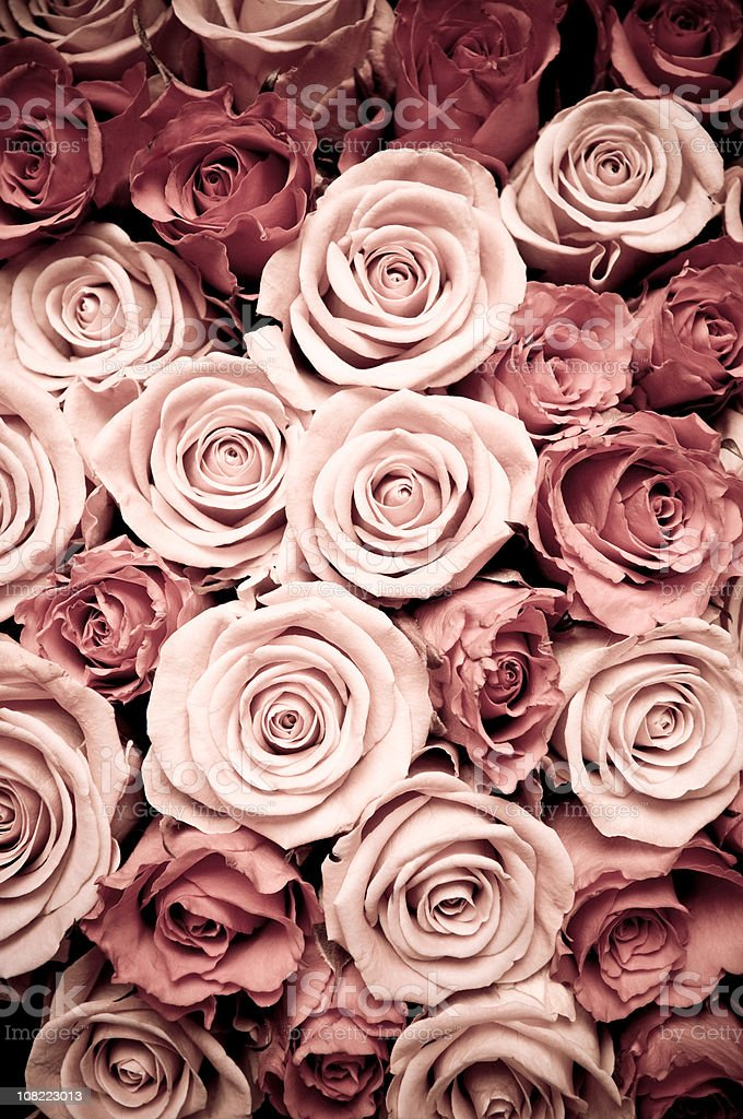 View from Above of Opened Light and Dark Pink Roses royalty-free stock photo