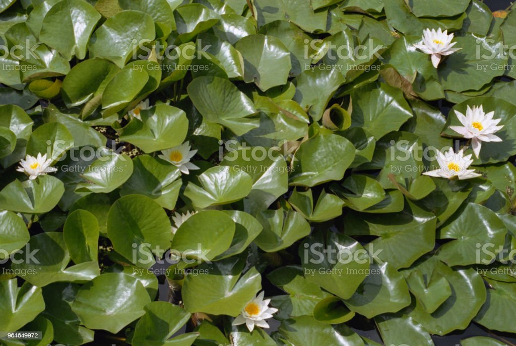 View from above on a pond with white water lilies. Shot on film royalty-free stock photo