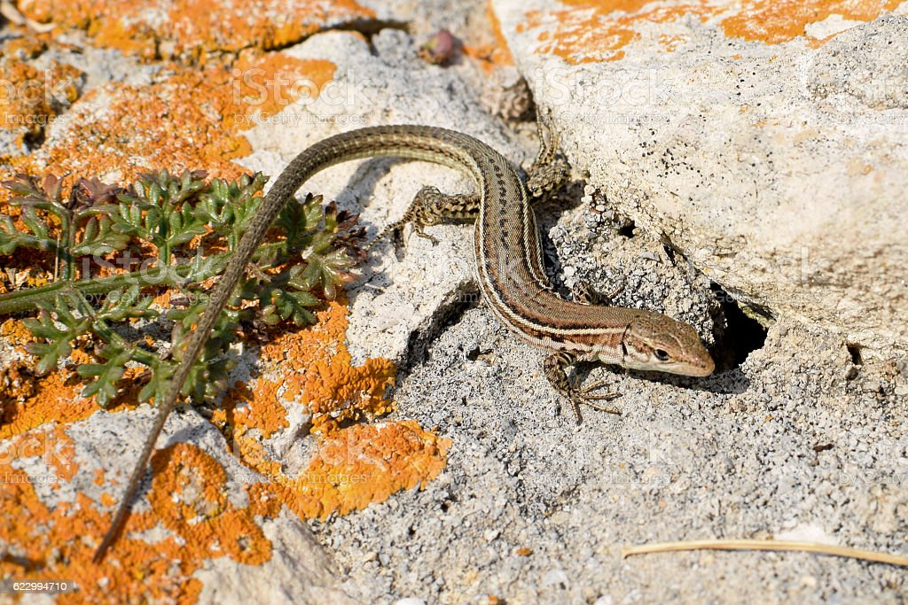 View from above on the  Dalmatian wall lizard, stock photo