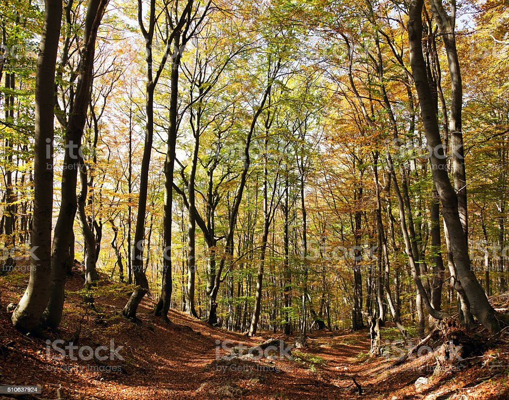 view from autumnal hardwood forest - european beechs (fagus sylvatica) stock photo