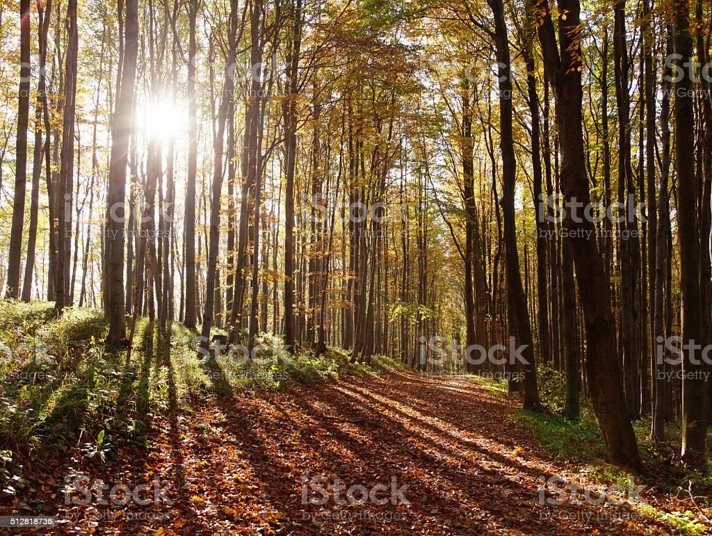 view from autumnal hardwood forest - european beechs stock photo