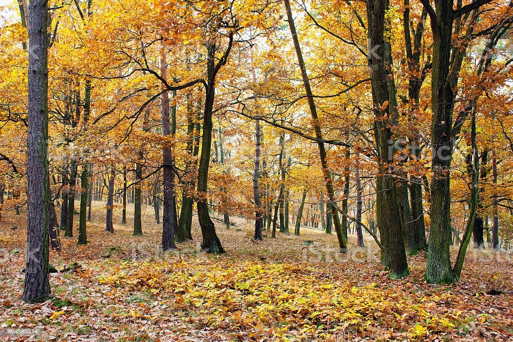 view from autumnal hardwood forest - oak trees stock photo
