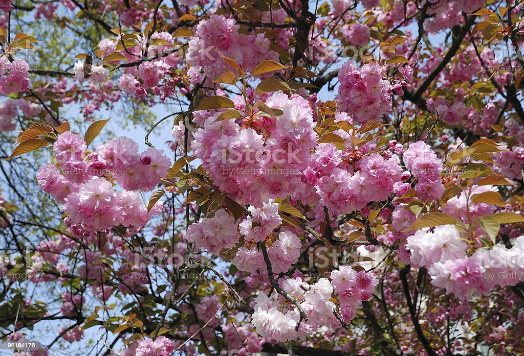 View from below of blooming tree close by royalty-free stock photo
