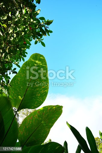 Backlit banana leaves in bright sunlight with white sky changing to blue at the top of the frame the frame. Photo taken at La Fortuna, near Arenal volcano in Costa Rica. Nikon D750 with Venus Laowa 15mm macro lens.