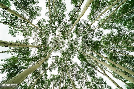 1068588904istockphoto View from below of tall Aspen trees in Colorado 484623752