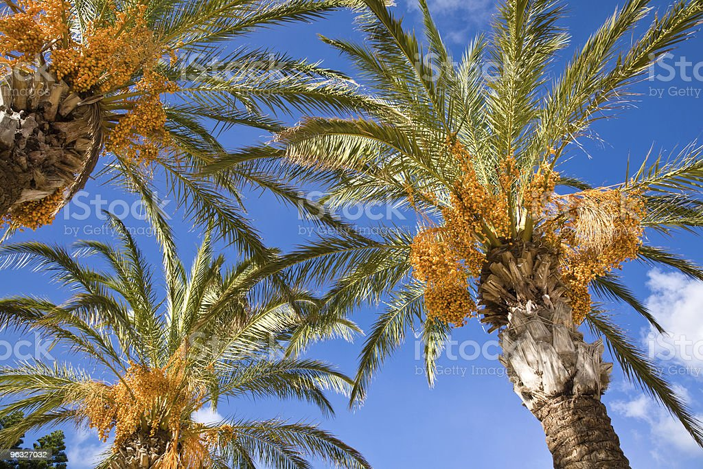 View from below of three date palms and a cloudy sky stock photo
