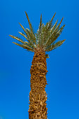View from below on desert palm tree trunk and high branches with spiky leaves in Israel