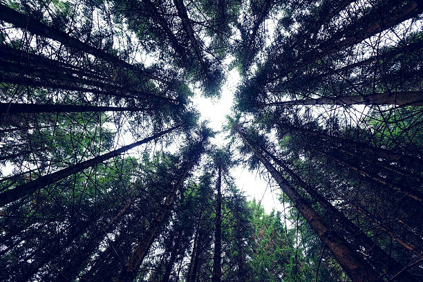 View From Below Standing right in the centre and below the large group of trees in the world famous Black Forest, Germany. black forest stock pictures, royalty-free photos & images