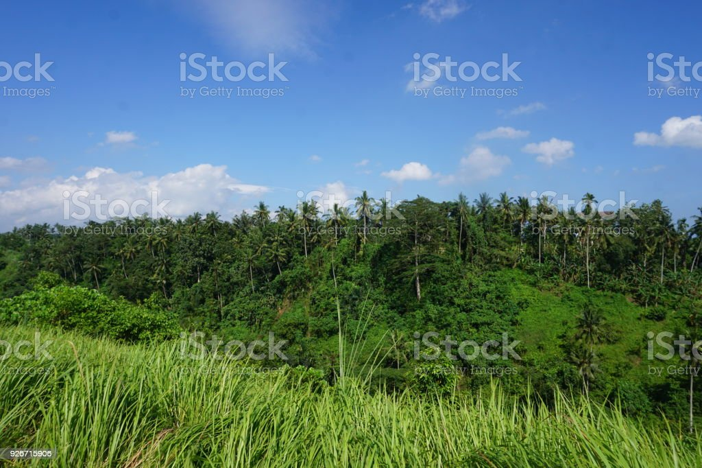 View from Ridge Trail Walk on rice field in Bali with palm trees in Indonesia jungle stock photo