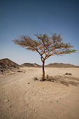 The only living tree in a sun-scorched sandy desert