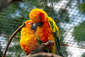 View from two sun parakeet, also known in aviculture as the sun conure, Aratinga solstitialis