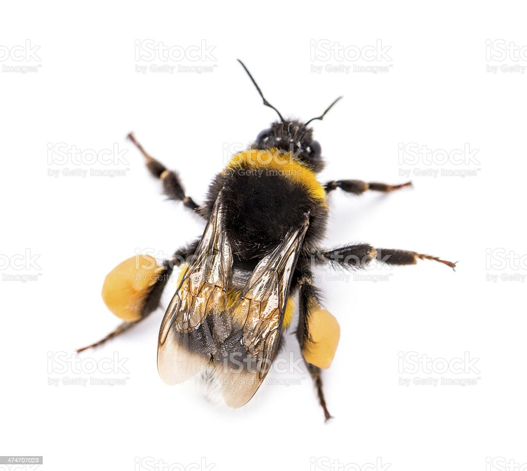 View from up high of a Buff-tailed bumblebee, Bombus terrestris stock photo