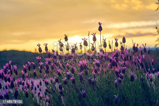 View in the sunset Sunset of Spanish Lavender (stoechas), Spanish Lavender (lavender), Lavandula pedunculata, French Lavender, Butterfly Lavender, Lavandula stoechas