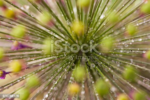 allium head and drops closeup