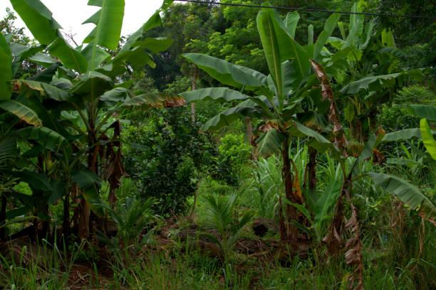 Vista de um bosque de banana, uma cena tropical. - foto de acervo