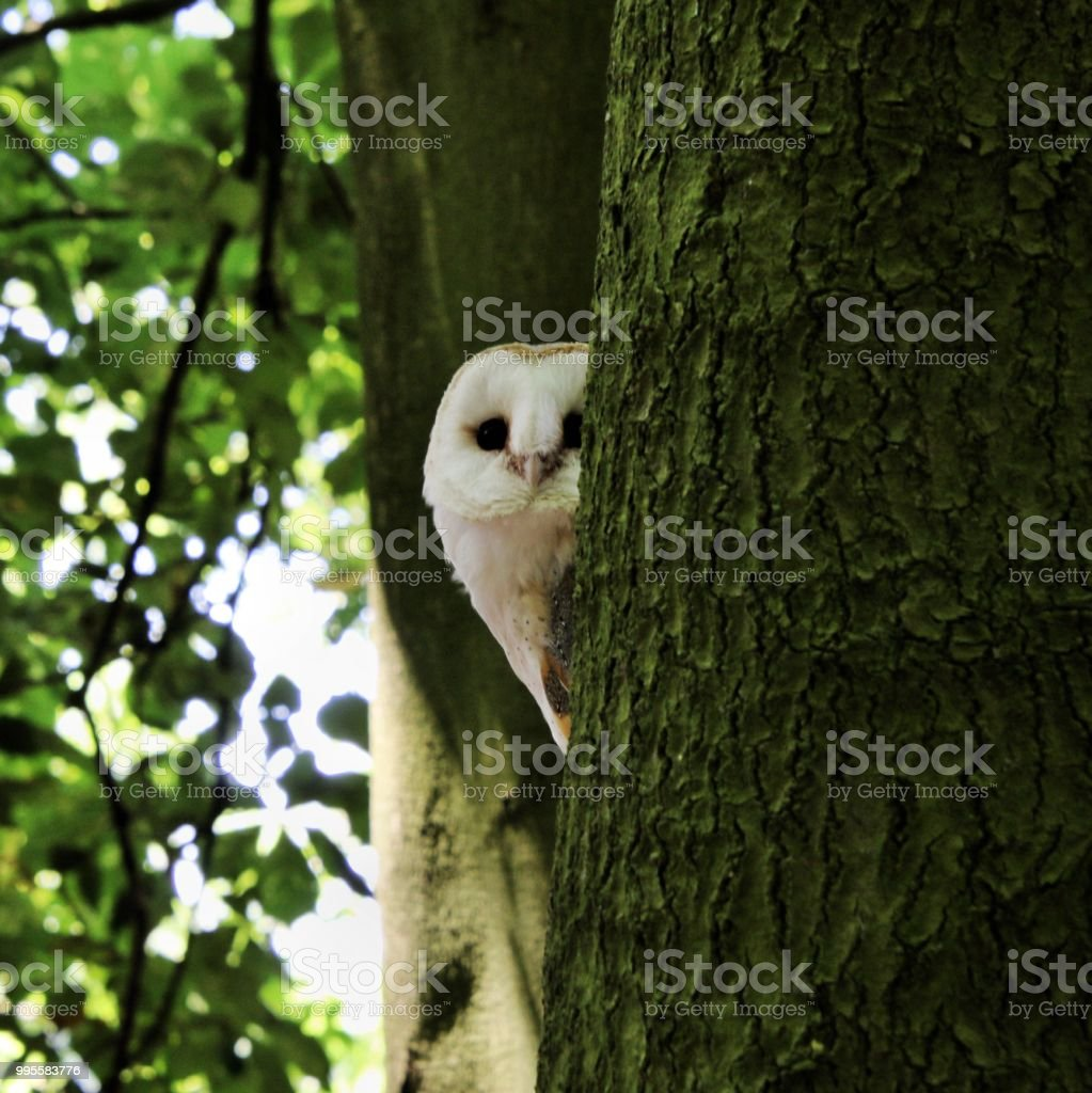 A view of a Barn Owl in a tree stock photo