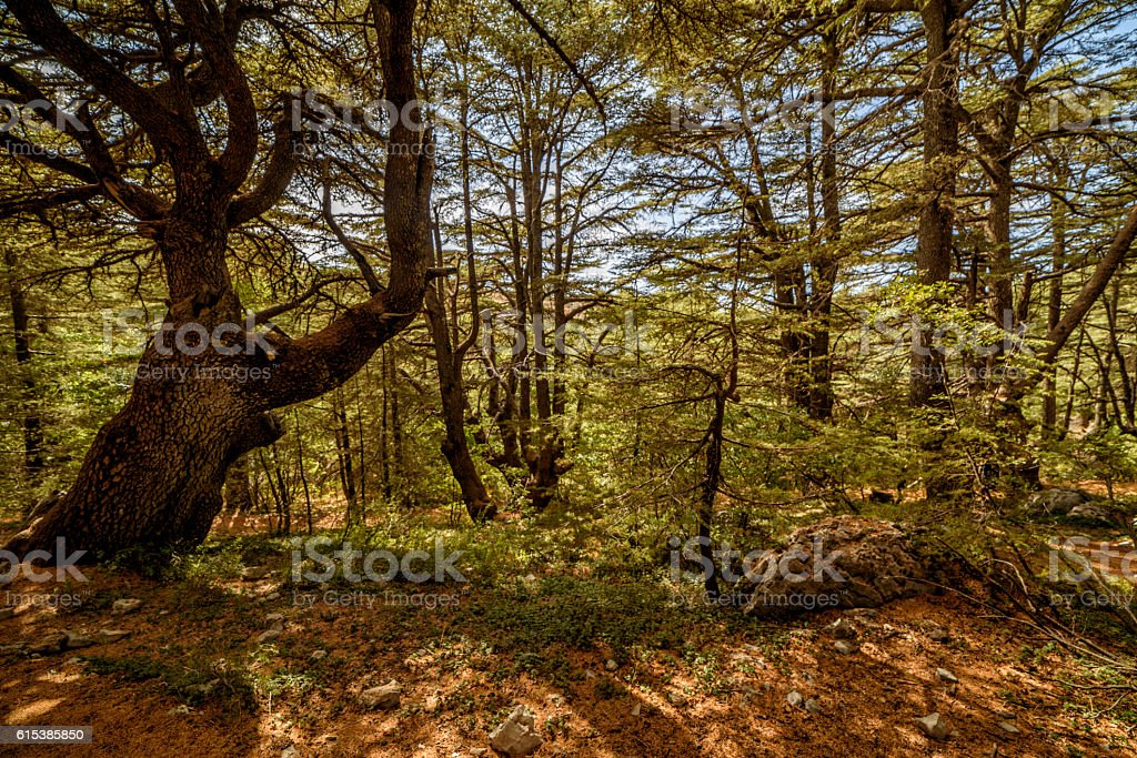 View of a cedar tree forest in Lebanon stock photo
