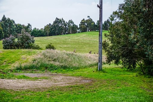View of a field in Australia with kangaroos.