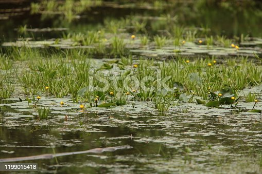 view of a flowering lake overgrown with water nuphar lutea