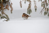 This image shows a single isolated fox sparrow taking cover under a low spruce tree branch in a snow storm.