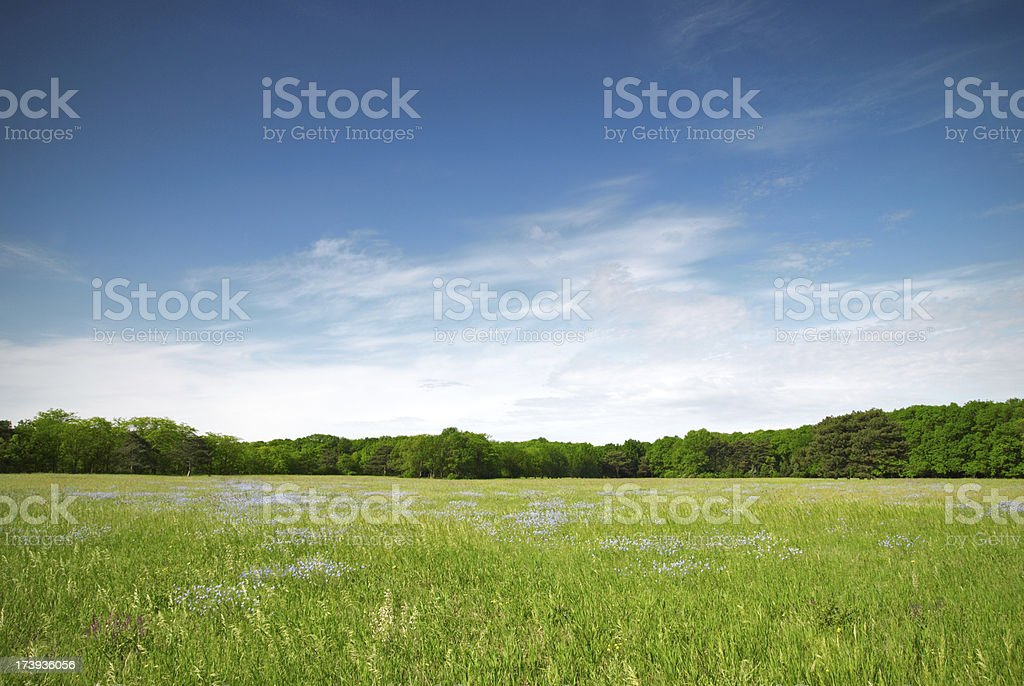 View of a green meadow with blue flowers on a sunny day stock photo