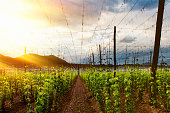 istock View of a hops field at sunset 471694708
