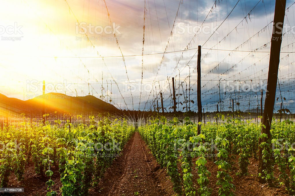 View of a hops field at sunset stock photo