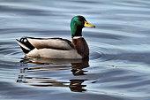 A view of a Mallard Duck