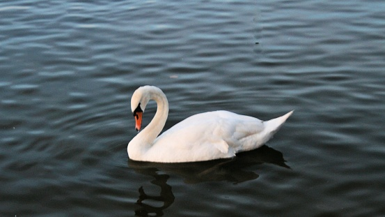 A view of a Mute Swan at Ellesmere in Shropshire