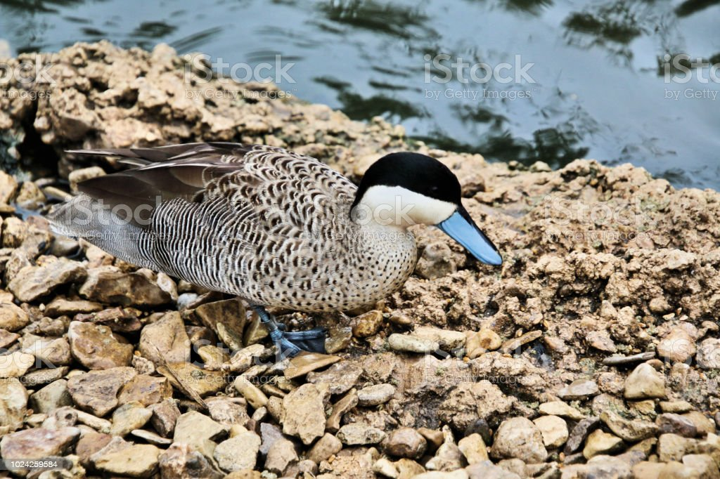 A view of a Puna Teal stock photo