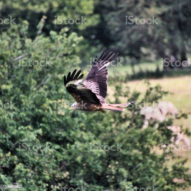 Photo of A view of a Red Kite in flight