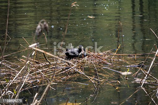 istock View of a small lake with a Eurasian coot (Fulica atra) while nesting on a bird's nest in the lake in the Swiss Alps in the Davos / Kloster area. 1159854275