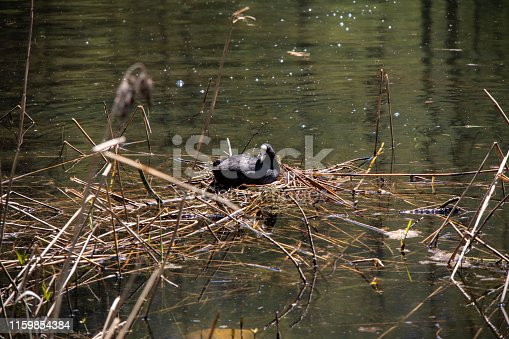 istock View of a small lake with a Eurasian coot (Fulica atra) while nesting on a bird's nest in the lake in the Swiss Alps in the Davos / Kloster area. 1159854384