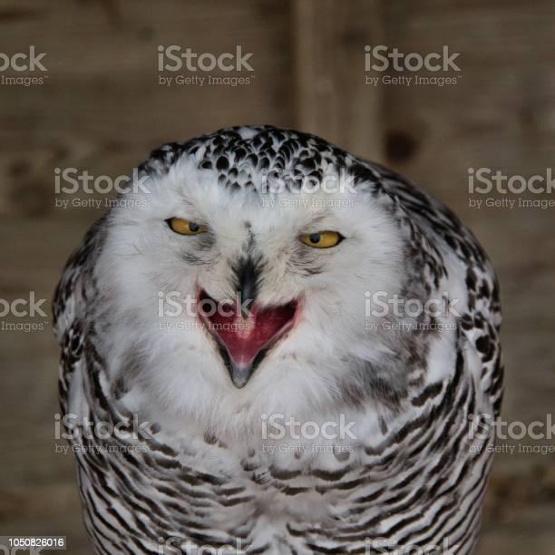 View of a snowy owl picture id1050826016?b=1&k=6&m=1050826016&s=612x612&h=ryxshao7c yzejehc2qyqeoes0tff8hijujwaubyb4i=