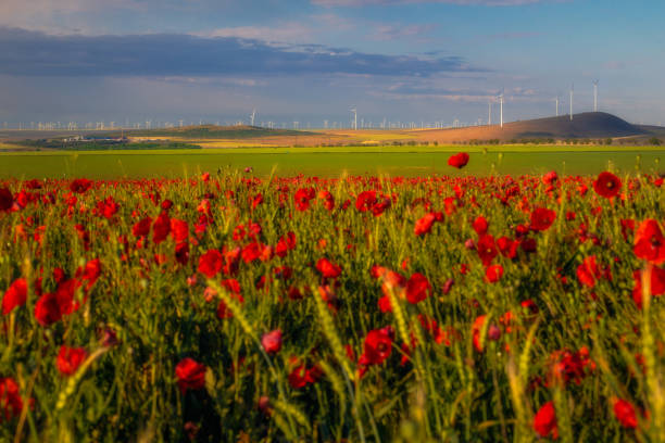 View of a wind turbines park used to produce green energy in Constanta County, Romania with a poppy field in the foreground and a blue sky in the background stock photo