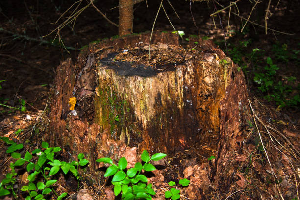 View of an old unusual brown pine stump. The remains of a felled tree stock photo