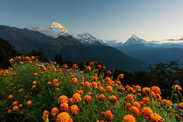 view of annapurna and machapuchare peak at sunrise from tadapani - népal photos et images de collection