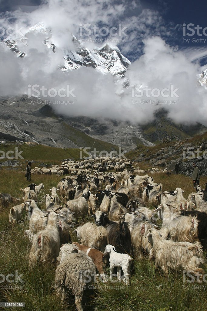 view of Annapurna with sheep royalty-free stock photo