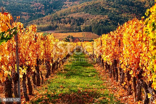 925850210 istock photo View of autumn vineyards near Riquewihr village, Alsace Wine Route, France 964187132