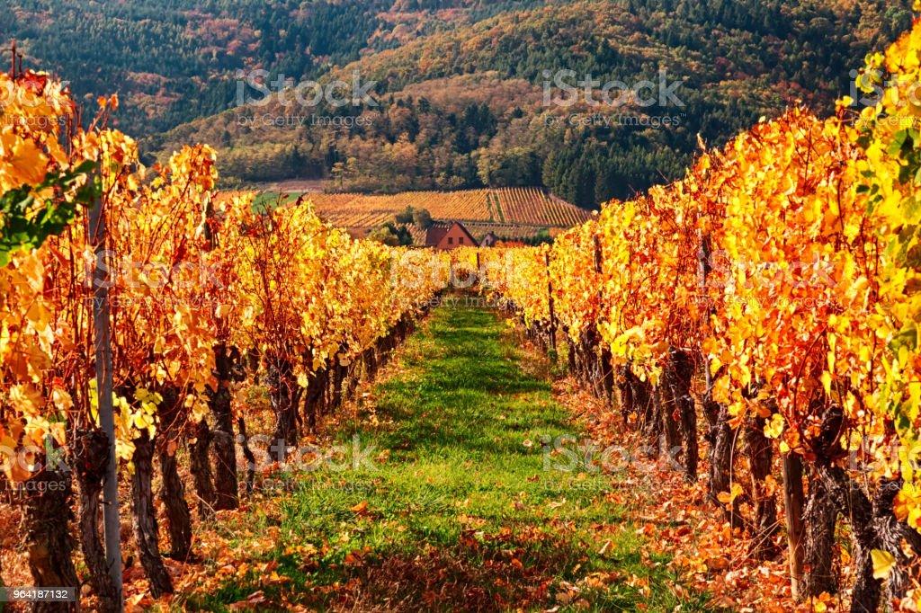Blick auf herbstliche Weinberge in der Nähe von Riquewihr Dorf, Elsass Wein Route, Frankreich – Foto
