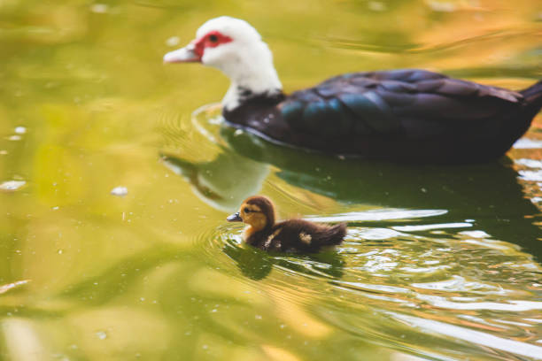 View of baby duckling with mother duck floating in a pond, vibrant image, concept of mother and son View of baby duckling with mother duck floating in a pond, vibrant image, concept of mother and son - foto stock