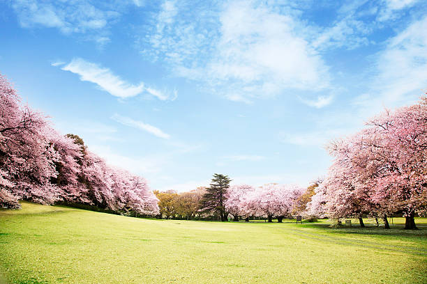 view of beautiful cherry blossoms - non urban scene stock photos and pictures