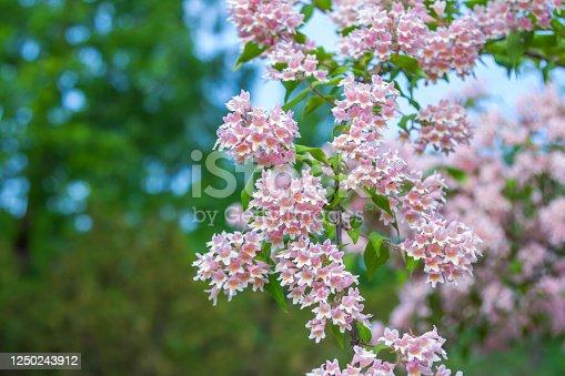 View of beautiful Linnaea amabilis or Kolkwitzia amabilis blooming bush with pink flowers, growing in the garden.
