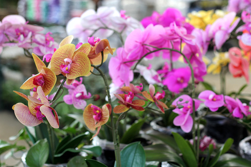the view of beautiful orchids of various colors in pots for garden