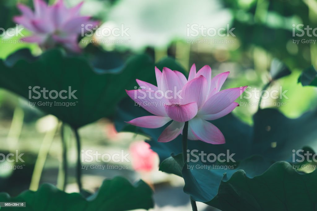View of beautiful pink lotus flower with green leaves in pond royalty-free stock photo