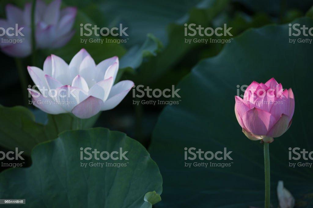 Vue de fleur de lotus rose magnifique avec des feuilles vertes en étang - Photo de Asie libre de droits